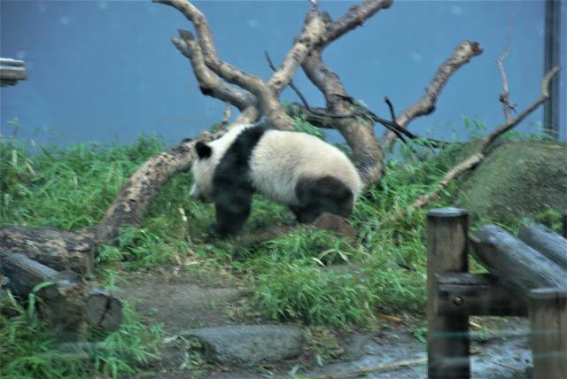 上野動物園(シャンシャン-遊び中)