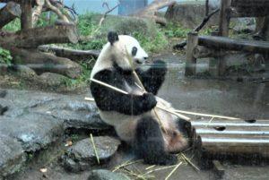 上野動物園(ジャイアントパンダ-食事中)