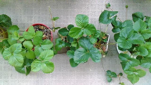 家庭菜園いちご