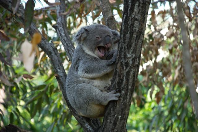 あくびしちゃったコアラ